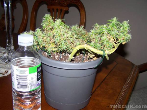 3 Week Old Weed Plant Car Interior Design