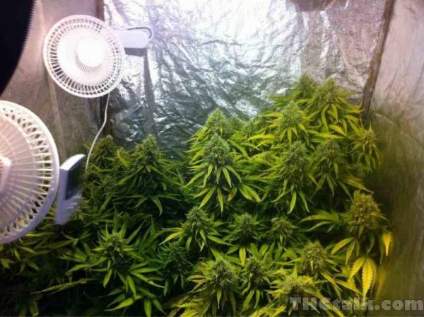 Small tents and oscillating fans [Archive] - THCtalk.com - Cannabis Growing Forum u0026 Cannabis u0026 Marijuana Discussion Forums & Small tents and oscillating fans [Archive] - THCtalk.com ...