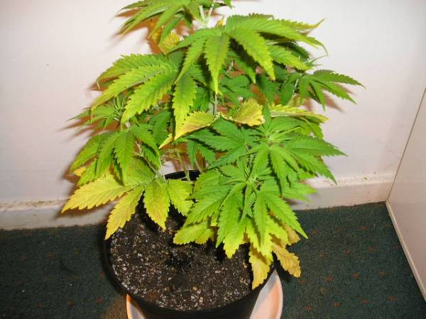Yellowing leaves are these plants hungry archive thctalk yellowing leaves are these plants hungry archive thctalk cannabis growing forum cannabis marijuana discussion forums mightylinksfo
