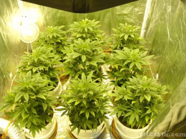 ... its well worth investing in one of those parabolic reflectors and if you have a bit extra a growstar it will pay for itself double first grow & How many plants?