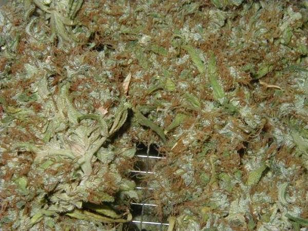 Drying Marijuana In Paper Bag http://www.thctalk.com/cannabis-forum/showthread.php?236-Harvesting-and-Drying-Cannabis