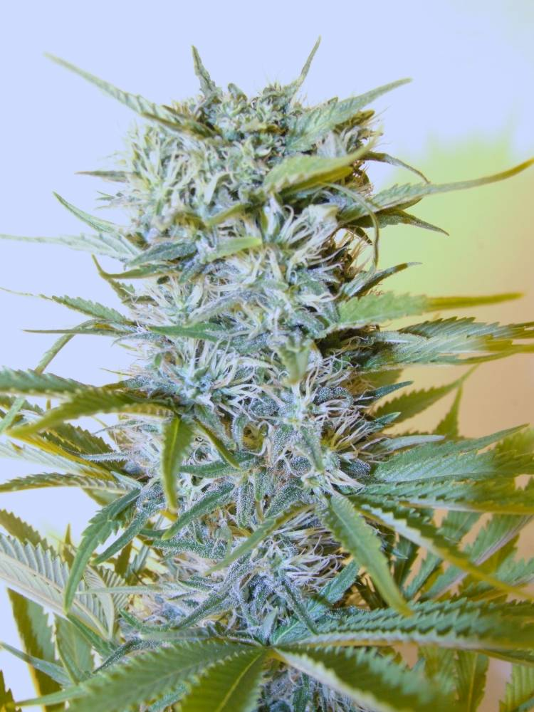 BB Blue Cheese 61/2 to 7 weeks flower - Welcome to THCtalk com