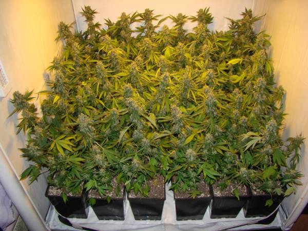 How Much Dry Bud To Expect From 250w Hps Indoor Soil Grow